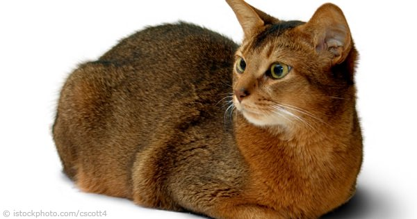 Abyssinian Cat Pictures
