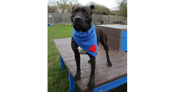 All Bach, No Bite! Softie Staffie With An Ear For Classical Music Looks For New Home