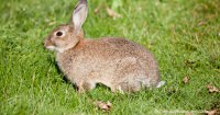 History Of Pet Rabbits