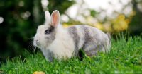 Scientific Classification Of Pet Rabbits