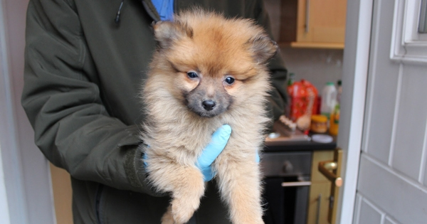 Demand For Designer Puppies Through The Roof As Responsible Breeders Fail To Keep Up